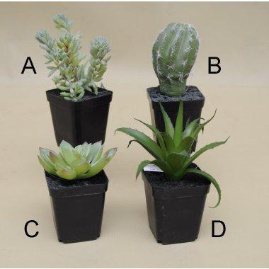 Kaktusy Sukulenty Maszeu Hurtownia Ozdoby